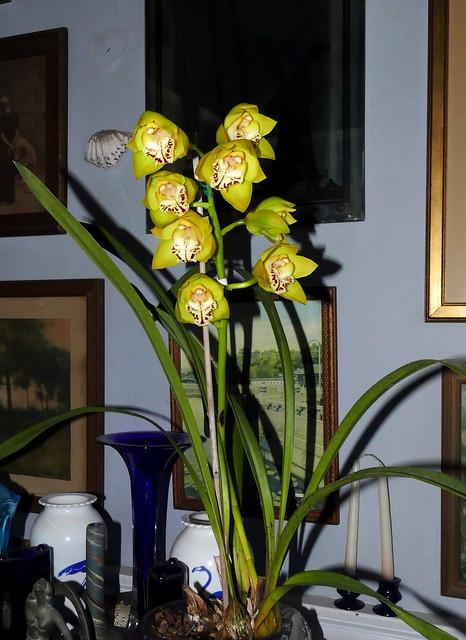 Cymbidium Tower of Gold hybrid orchid 2-21