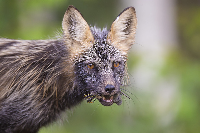 Cross Fox Portrait - Taking a Meal Back to the Den