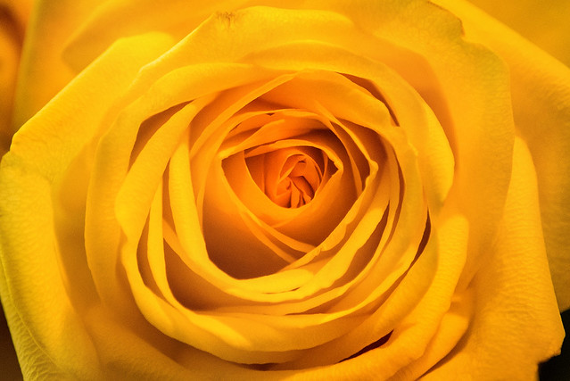 A Wonderful Yellow Rose 3-0 F LR 2-23-21 J002