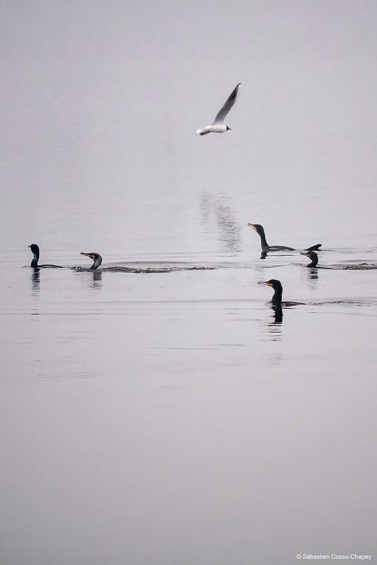 Les grands cormorans passent à table 50989546508_5101d2626b_c