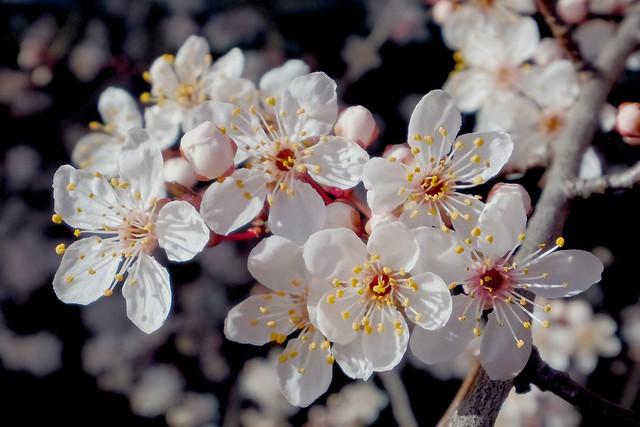 Cherry blossoms - HSS!