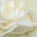 White Rose, 5.16.17