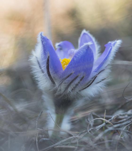 Springflowers / Pulsatilla grandis
