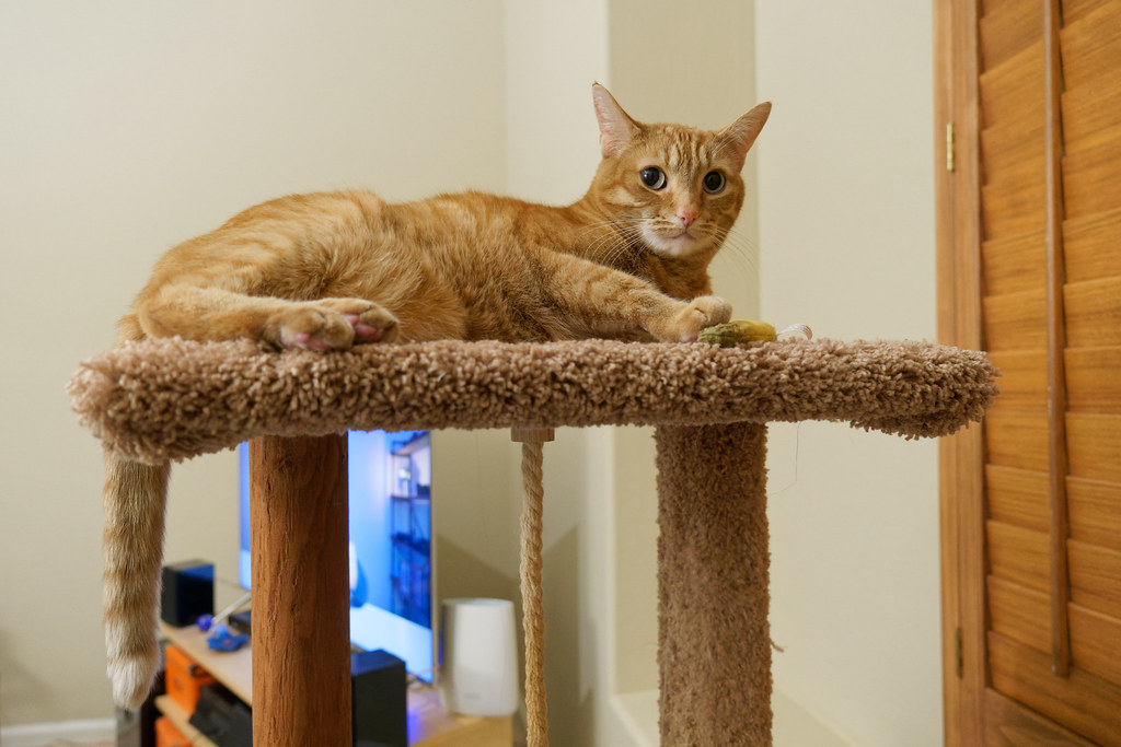 Our cat Sam rests atop the cat tree with the TV in the background on January 30, 2021. Original: _CAM9550.arw