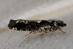 Filigreed Moth