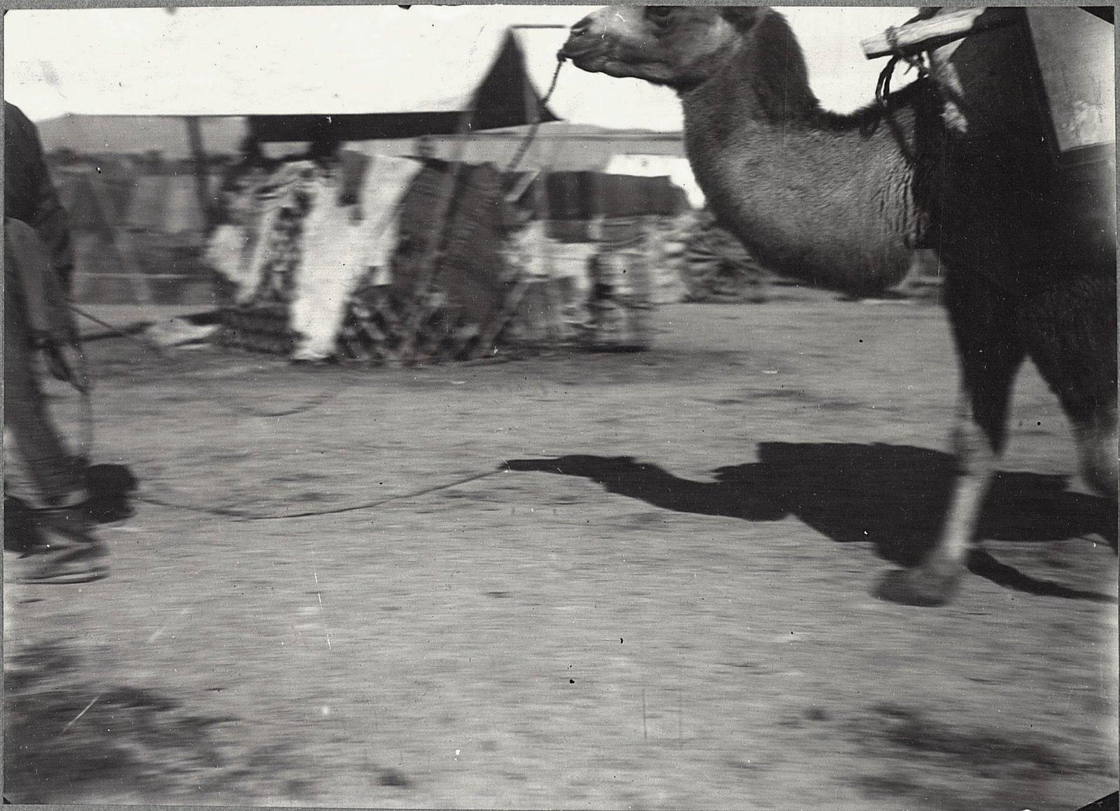 Верблюд. Урга