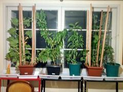My potted plants in the room. * Minhas plantas em vaso na sala. * Mes plantes en pot dans la pièce. * Mis plantas en macetas en la habitación. *  部屋にある私の鉢植え。 * 我在房间里盆栽的植物。