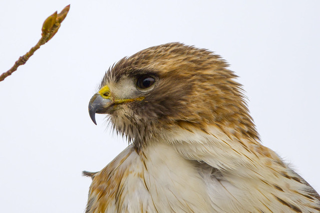 Awesome Nature | Red-tailed Hawk