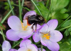 Queen Bumblebee
