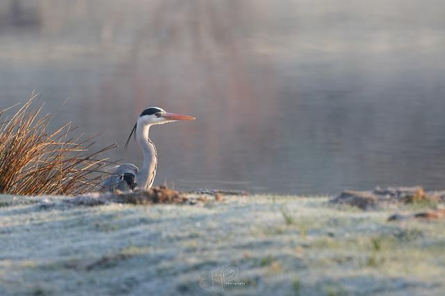 Grey heron in morning light - Héron cendré sous les premières lueurs