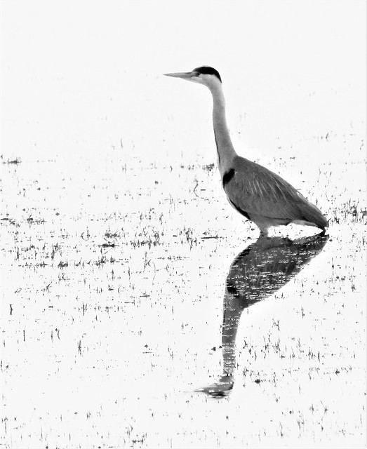 Greyscale Grey Heron and Reflection
