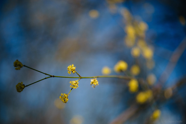 Yellow blooms and blue skies