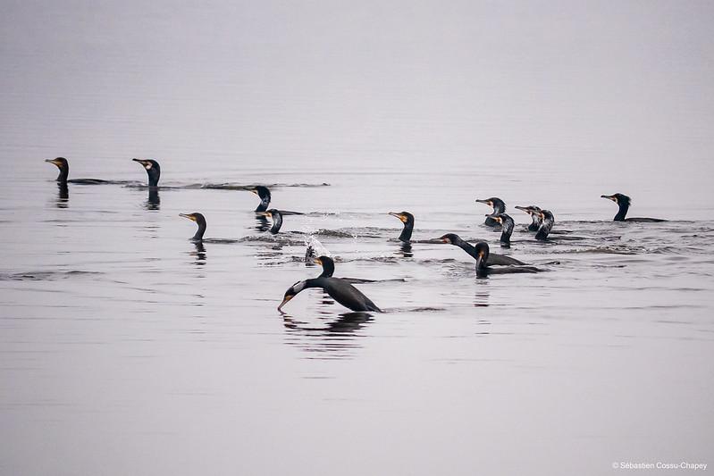 Les grands cormorans passent à table 50990253336_62a7dcf4d3_c