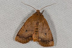 Variable Sallow Moth