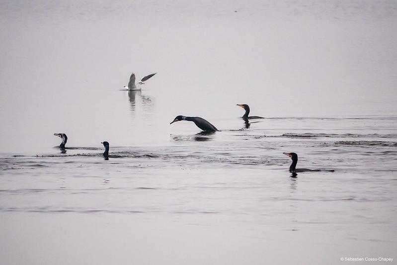 Les grands cormorans passent à table 50990362012_ae39c84604_c