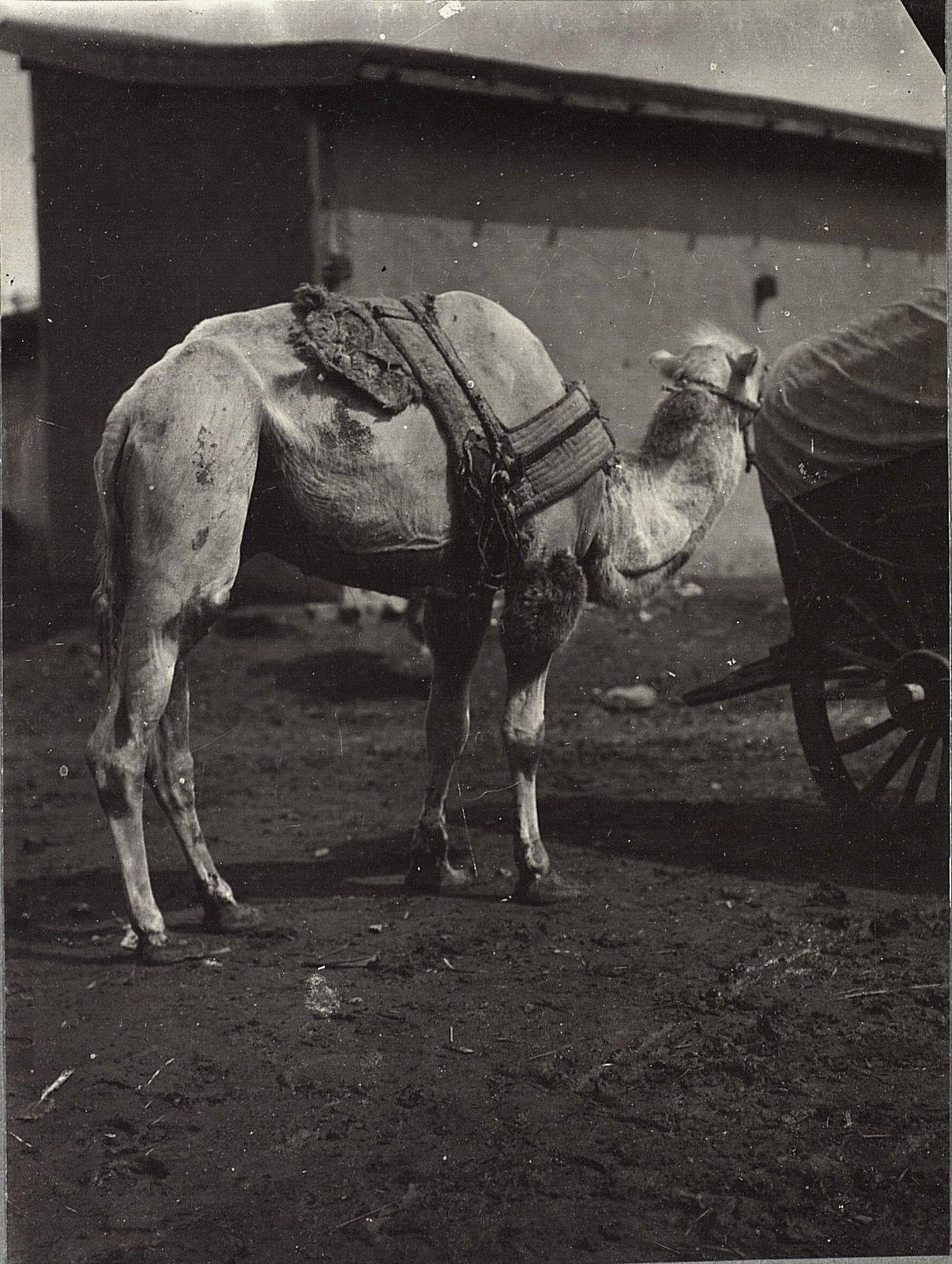 Верблюд с телегой. Урга.