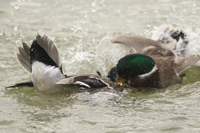 Duelling ducks at Hillhead Marina, Hampshire