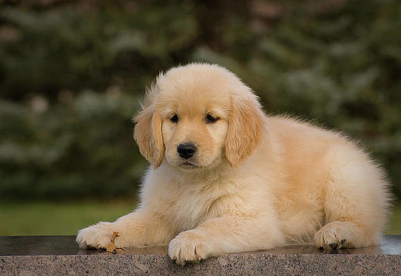 golden-retriever-puppy-lying-on-granite-vintage-images