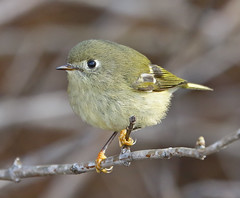 Ruby-crowned Kinglet close personal