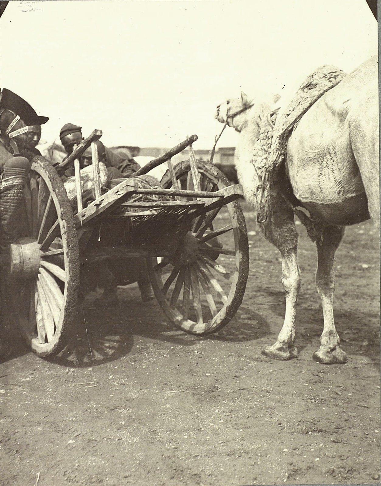 Верблюд с телегой. Урга