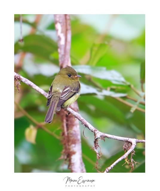 Mosquerito Moñudo Norteño, Mitrephanes phaeocercus, Tufted Flycatcher. Sendero Awa, Esmeraldas, Ecuador