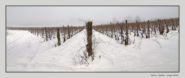Vineyards after the snowfall