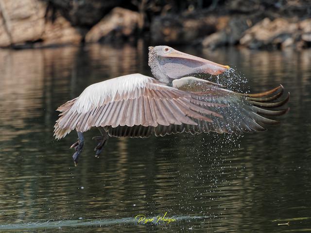 spotbilled Pelican in action Ranganathitu Bird Sanctuary, Mandya, 25Feb2021