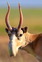 A Saiga Antelope from Central Asia