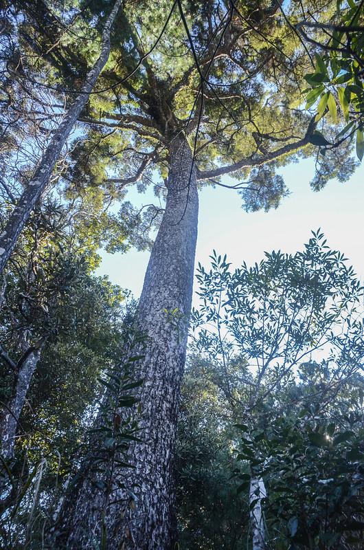 百川山登頂前筆直獨立杉木