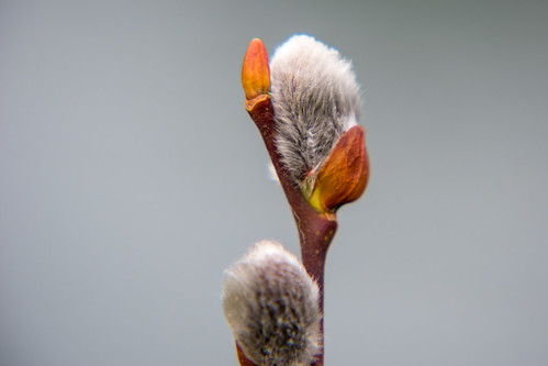 Pussy willow catkins, West Park