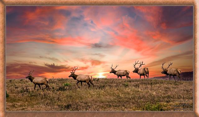 Tule Elk on Parade (After processing)