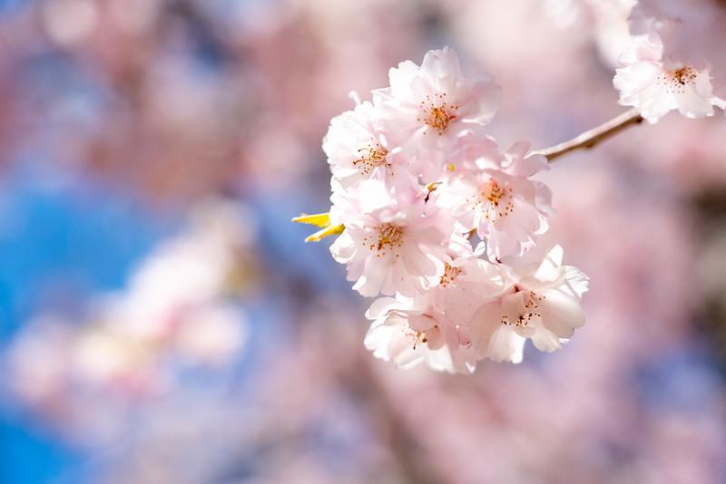 飯能市の桜