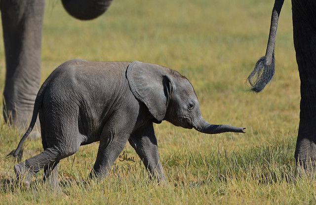 Protected! This sweet elephant calf is surrounded by love and protection, it's herd - 8161b+