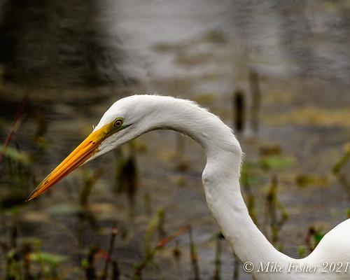Great Egret in Elm Lake