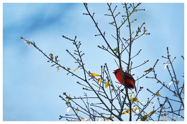 Singing, Cardinal, Lake Mary Florida --899