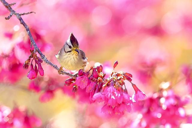冠羽畫眉與春櫻