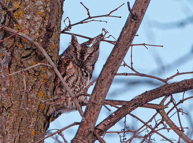 Petit Duc Maculé - Eastern Screech-Owl - Megascops asio