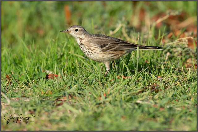 American Pipit 7387
