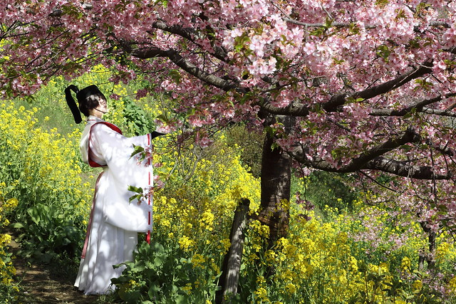 A Lady in Antique Clothes Under Cherry Blossoms