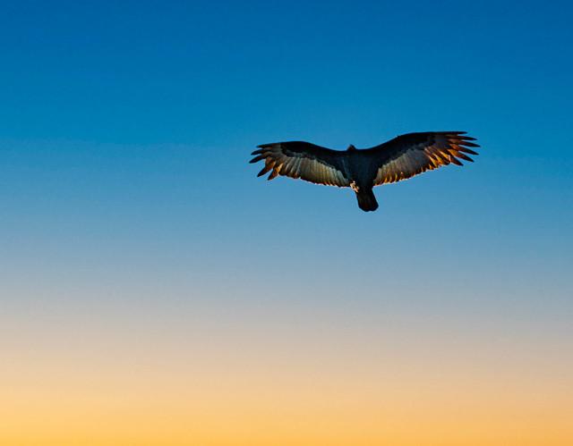 Raptor at Sunset