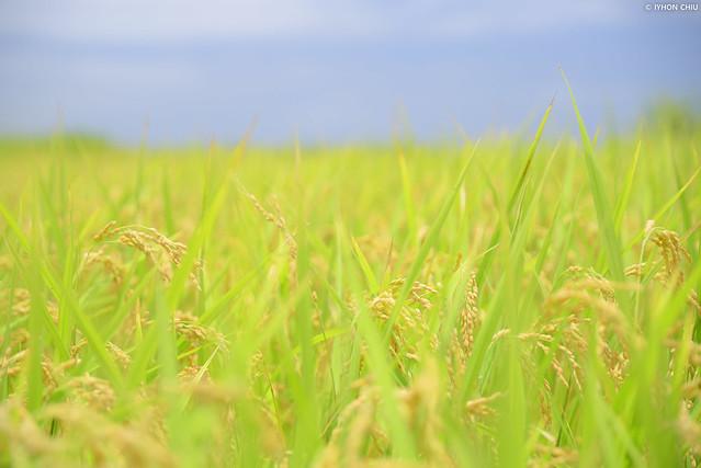 花蓮豐濱・新社梯田︱Xinshe Rice Terrace・Hualien