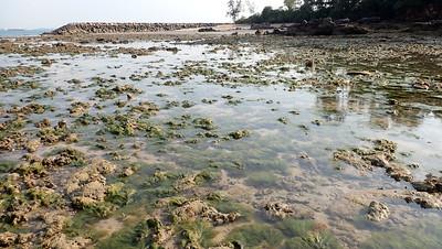 Bryopsis bloom on Lazarus Island, Feb 2021