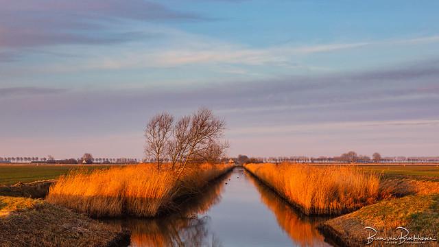 Reed in morning light