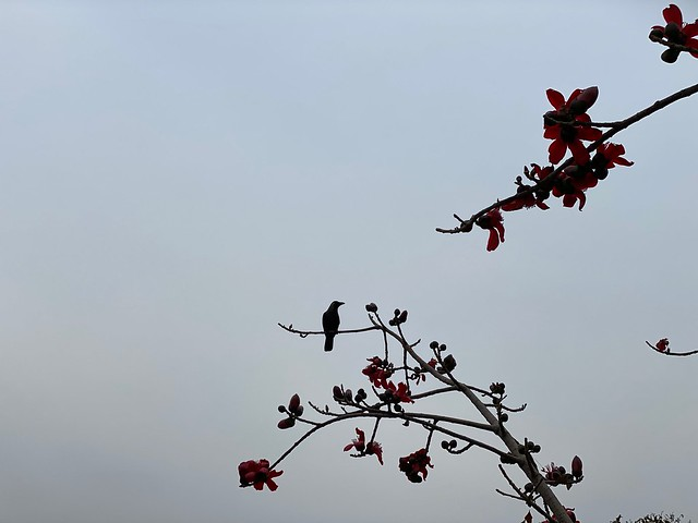 City Season - First Semal Flowering, ITO8