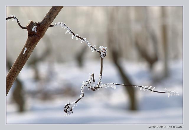 Wandering through the vineyards in winter - 1