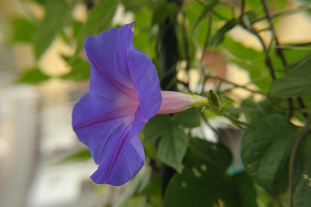 Hypomea flower