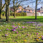 Crocus carpet at Haslam Park, Preston