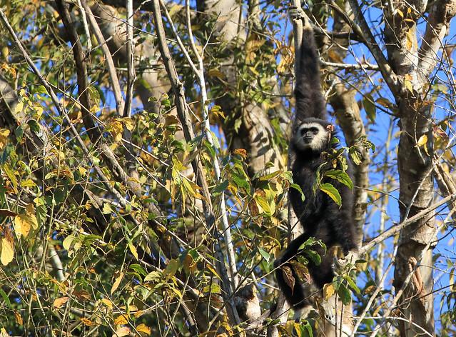 Gibbon lar - Khao Yai/Nakhon Ratchasima/TH_20191217_107-1
