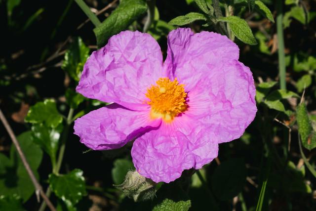 Lefkada flowers in nature (6)