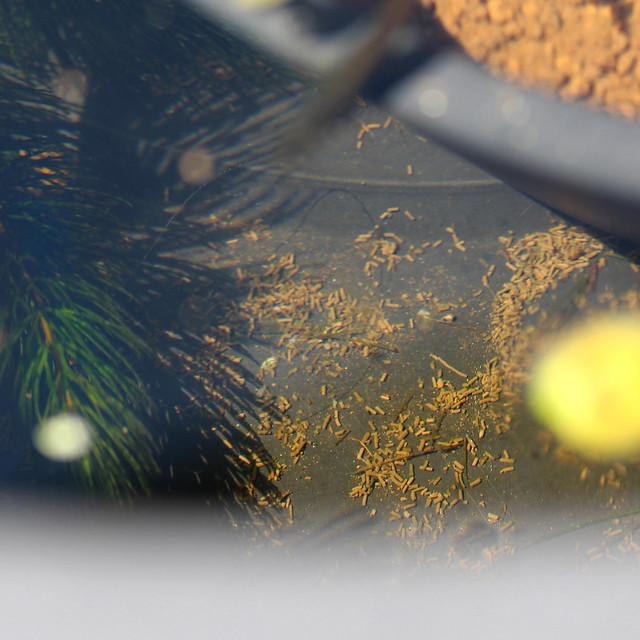 ビオトープ エビの糞 睡蓮鉢 掃除